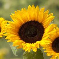 2020-05-14 Morgenexpress Gespräch mit Sandra über Eisheilige und Sonnenblumen